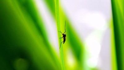 Moustique Plante